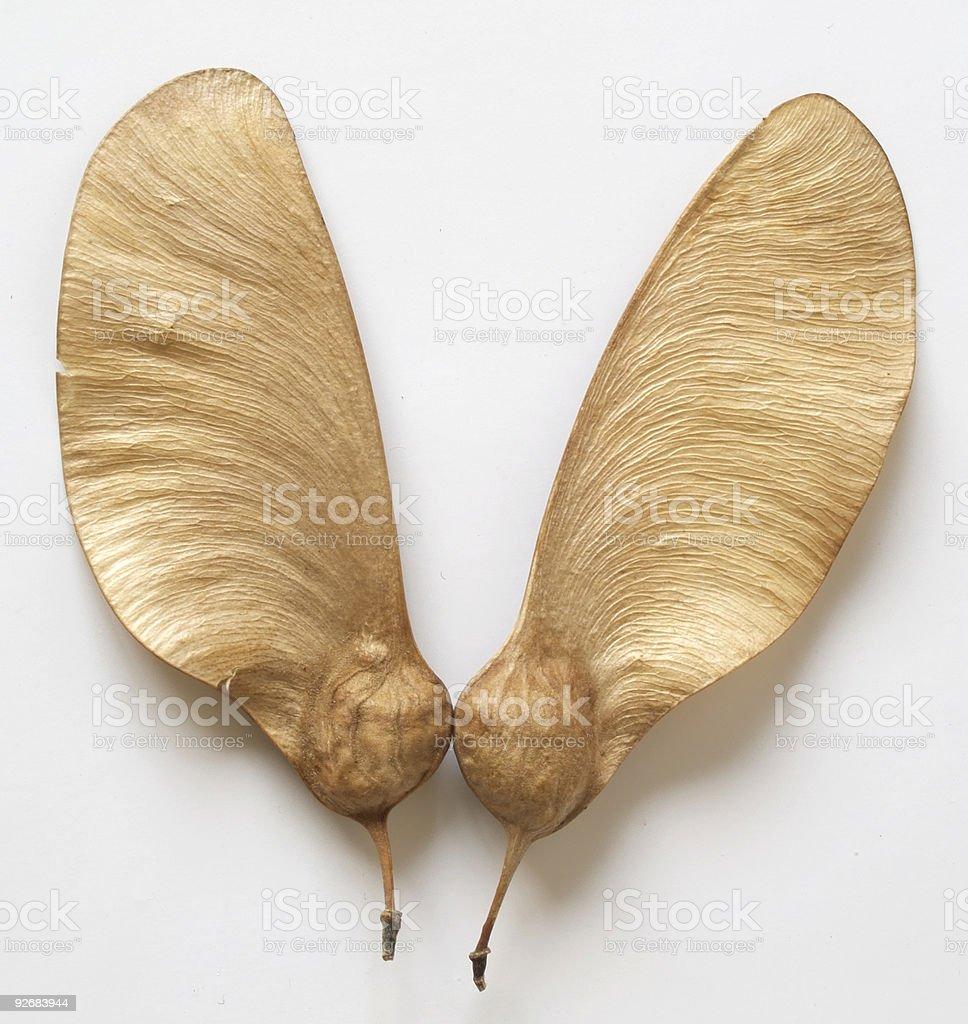 Flying Seed stock photo