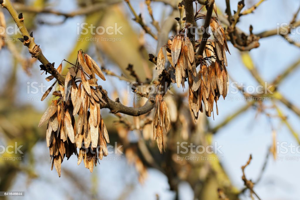 Flying seeds hanging on ash tree Fraxinus excelsior stock photo