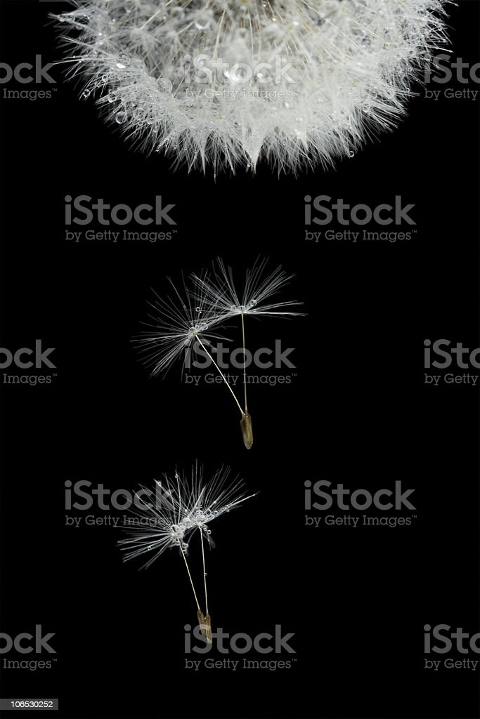 Flying seeds of blossoming dandelion stock photo
