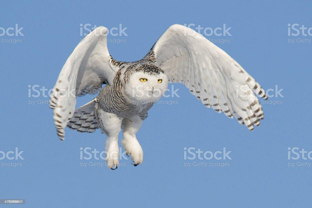Flying snowy owl royalty-free stock photo