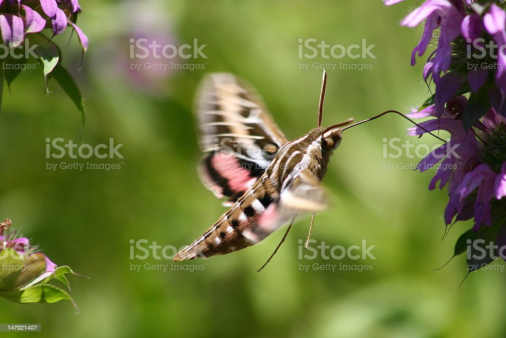 Flying Sphinx Moth stock photo