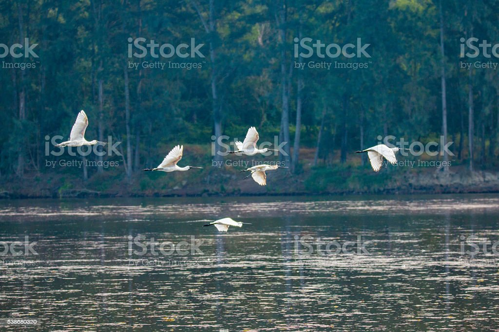 Flying Spoonbills stock photo