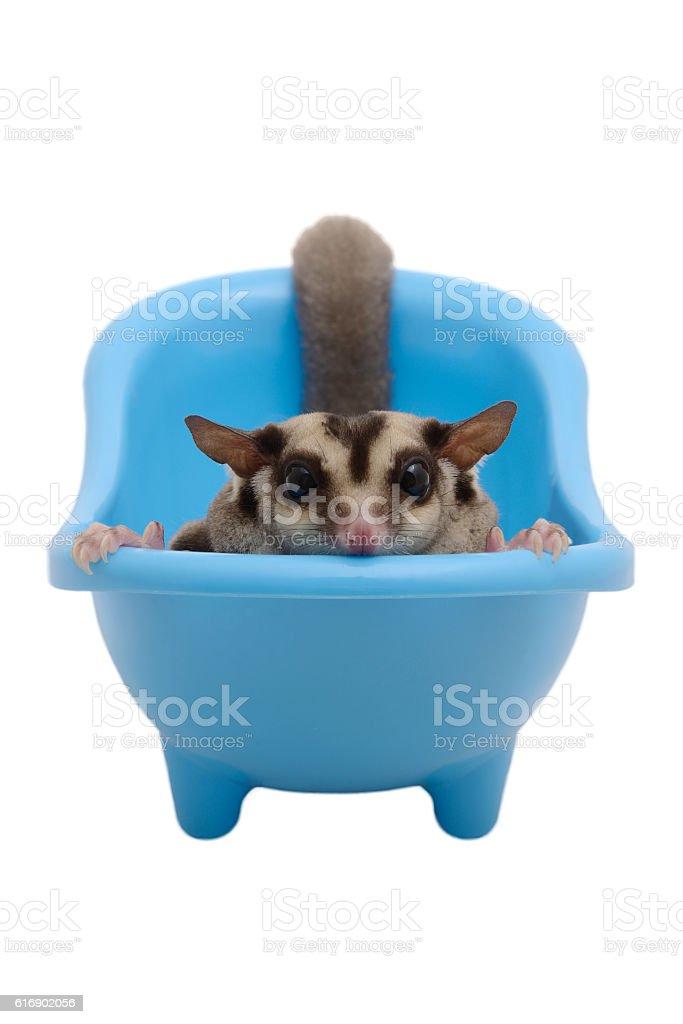 Flying squirrel lay in blue bathtub. stock photo