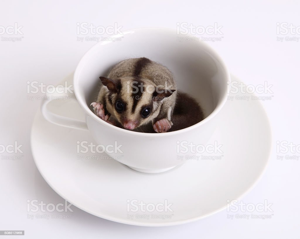 Flying squirrel or Sugarglider in a ceramic cup of coffee. stock photo