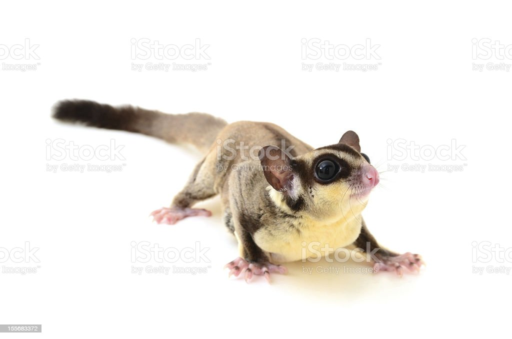 Flying squirrel stock photo