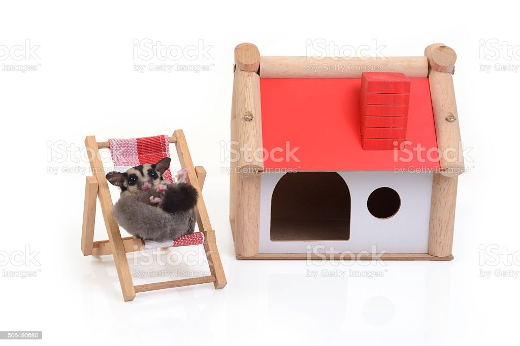 Flying squirrel relaxing on beach chair. stock photo