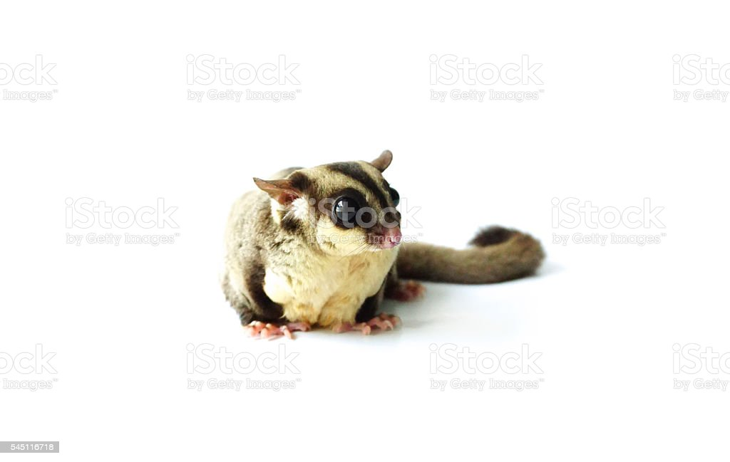 Flying squirrel, Sugar glider looking away isolated on white stock photo