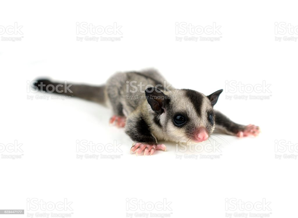 Flying squirrel, Sugarglider isolated on white stock photo