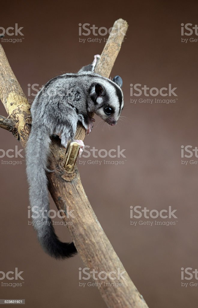 Flying squirrel  Sugarglider stock photo