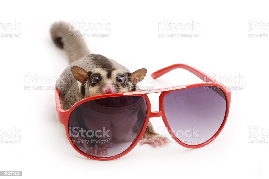 Flying squirrel with red sunglasses. stock photo