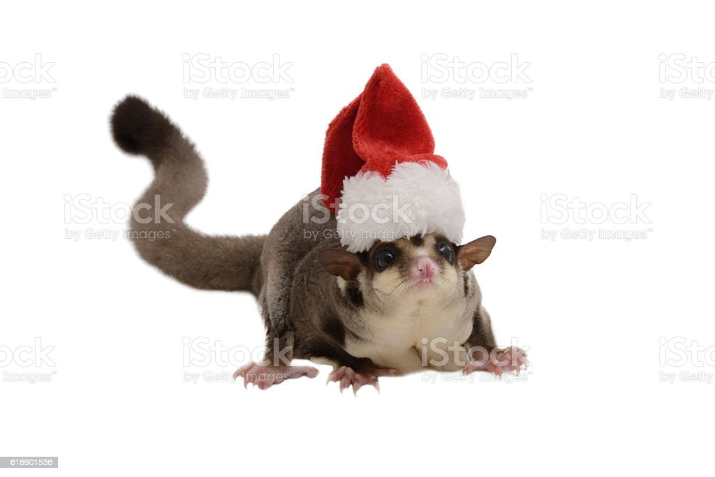 Flying squirrel with small Santa Claus hat. stock photo