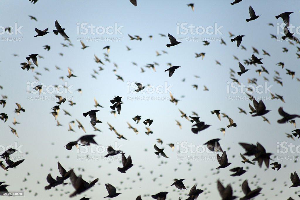 Flying starling birds stock photo