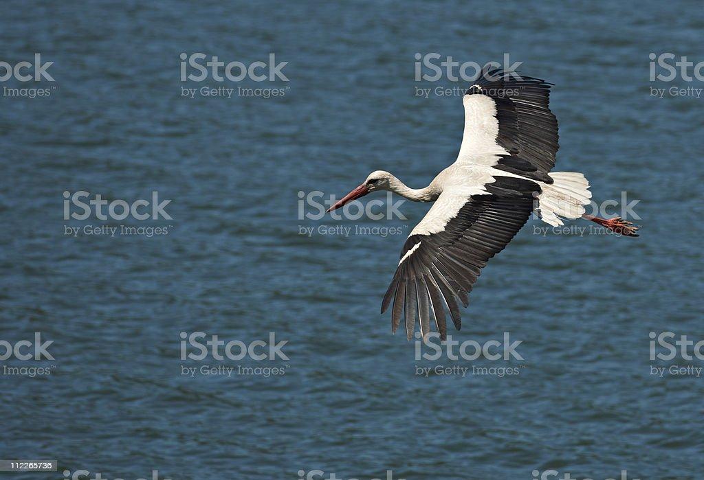 Flying stork on blue water stock photo