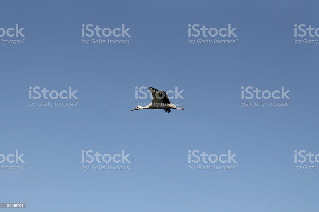 Flying Stork royalty-free stock photo