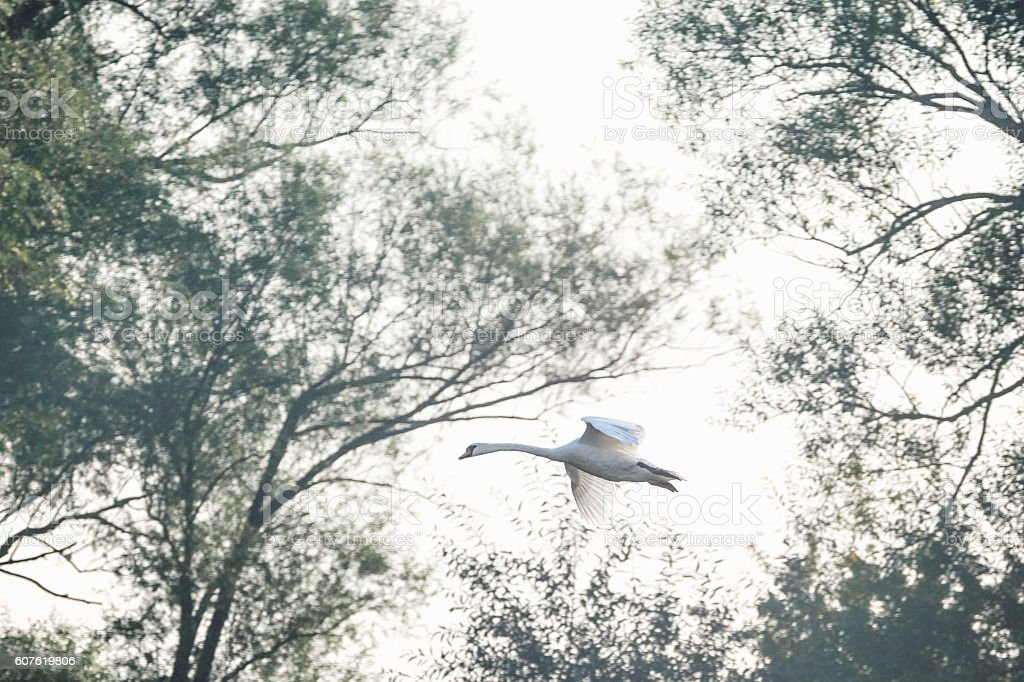 Flying swan through the trees stock photo