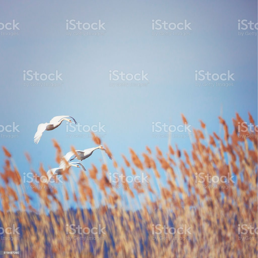 Flying swans behind the reeds stock photo