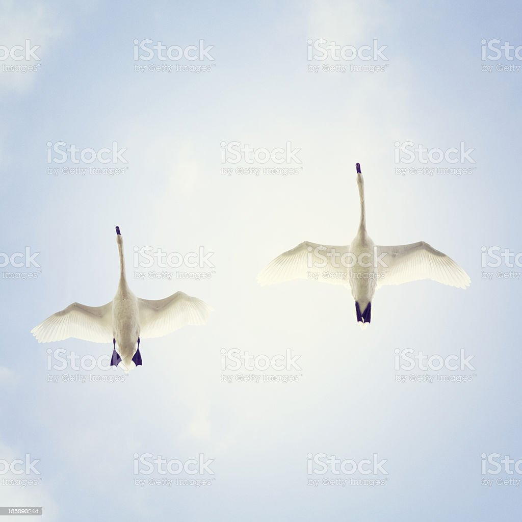 Flying swans from below stock photo