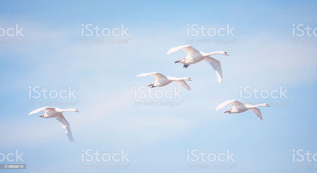 Flying swans stock photo