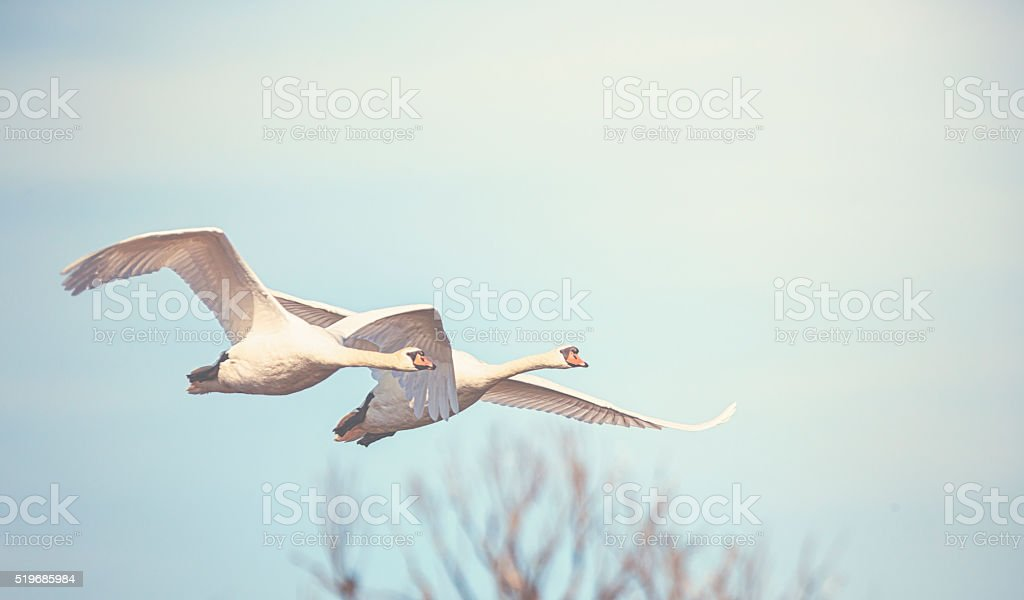Flying swans stock photo