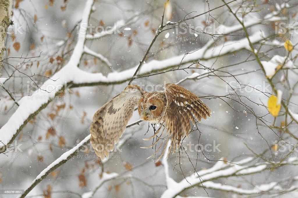 Flying tawny owl stock photo