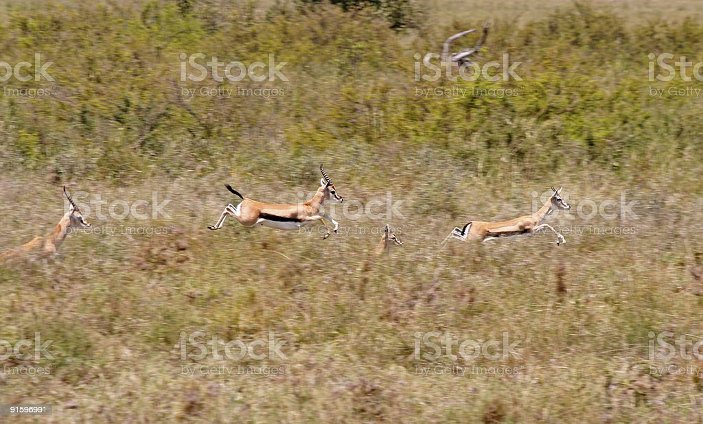 'Flying' Thomson's Gazelles stock photo