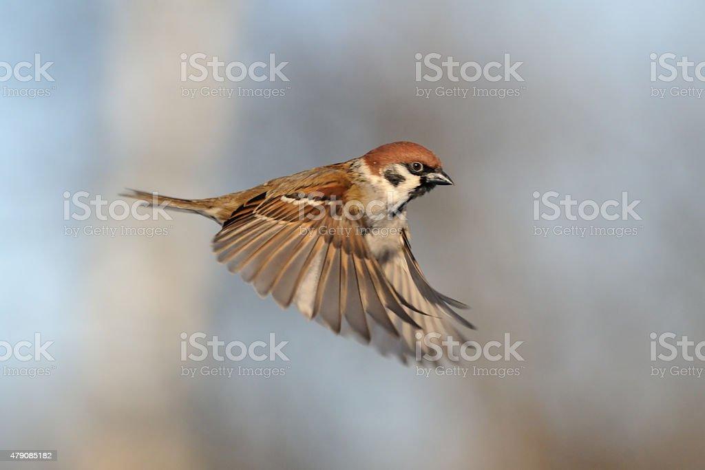Flying Tree Sparrow stock photo