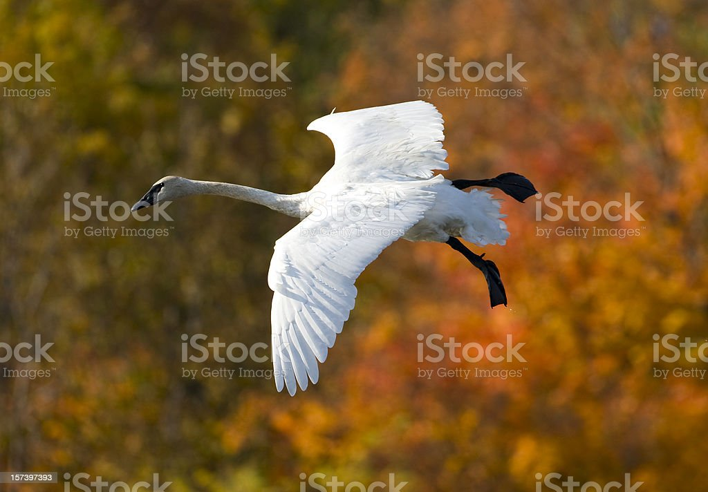 Flying trumpeter swan in Autumn. stock photo