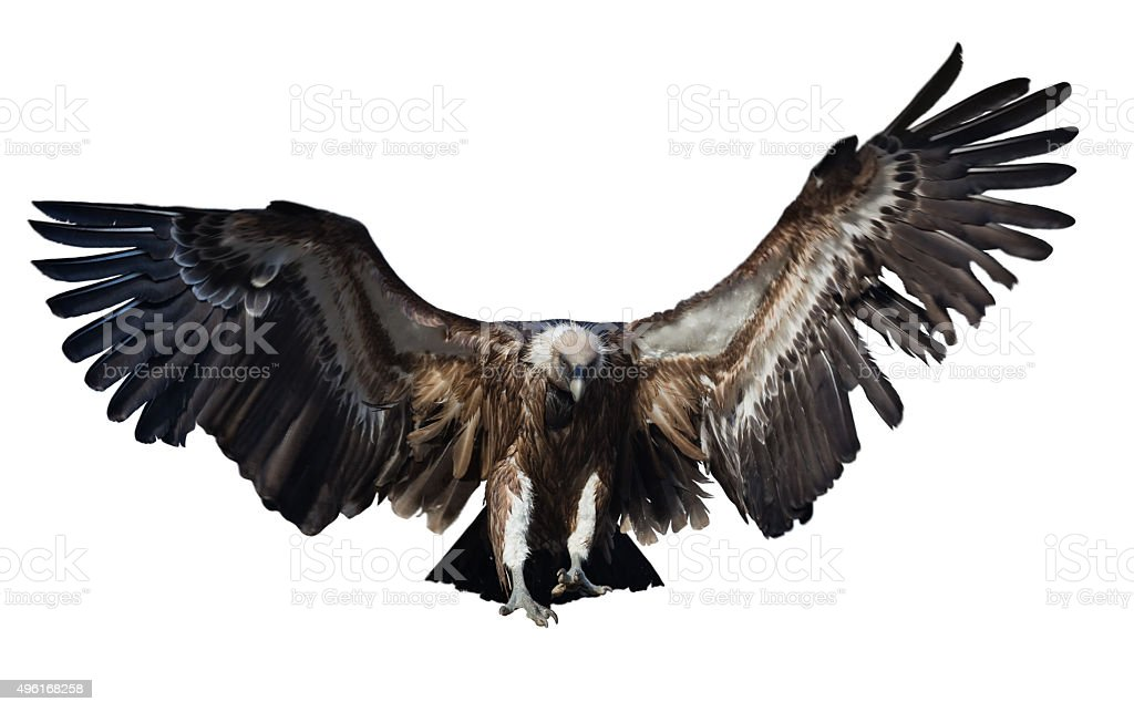Flying  vulture. Isolated over white stock photo