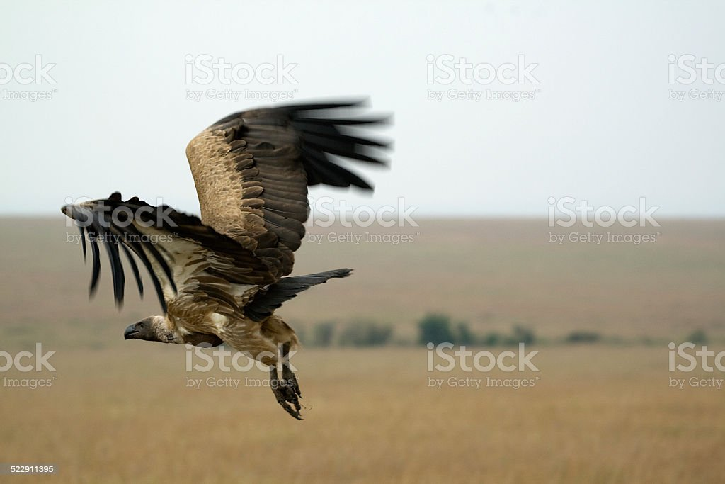 Flying vulture stock photo
