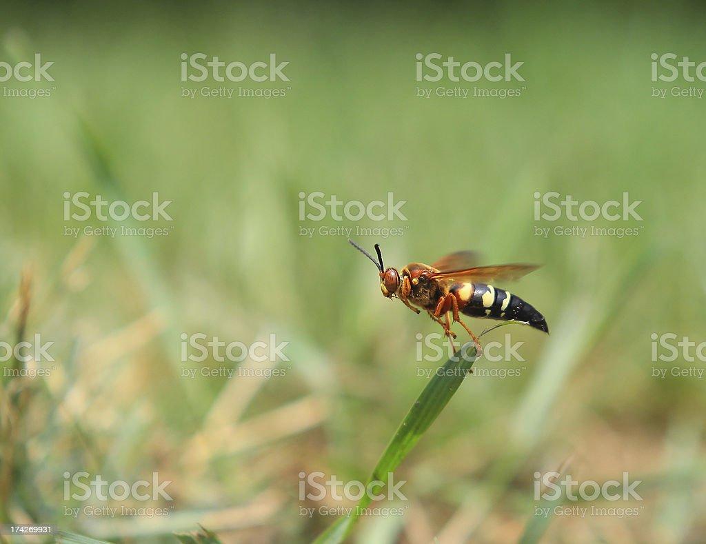 Flying Wasp royalty-free stock photo