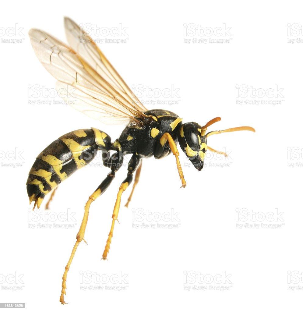 flying wasp stock photo