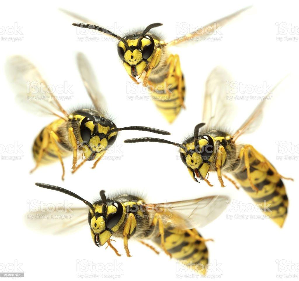 Flying Wasps stock photo