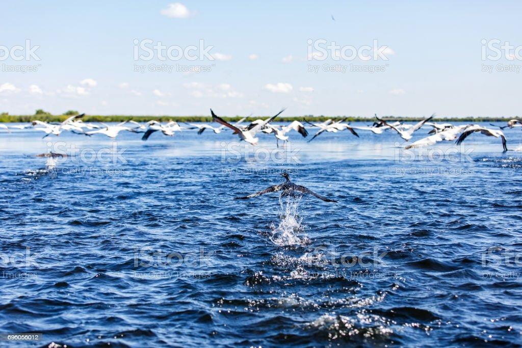 Flying water birds in Danube Delta stock photo