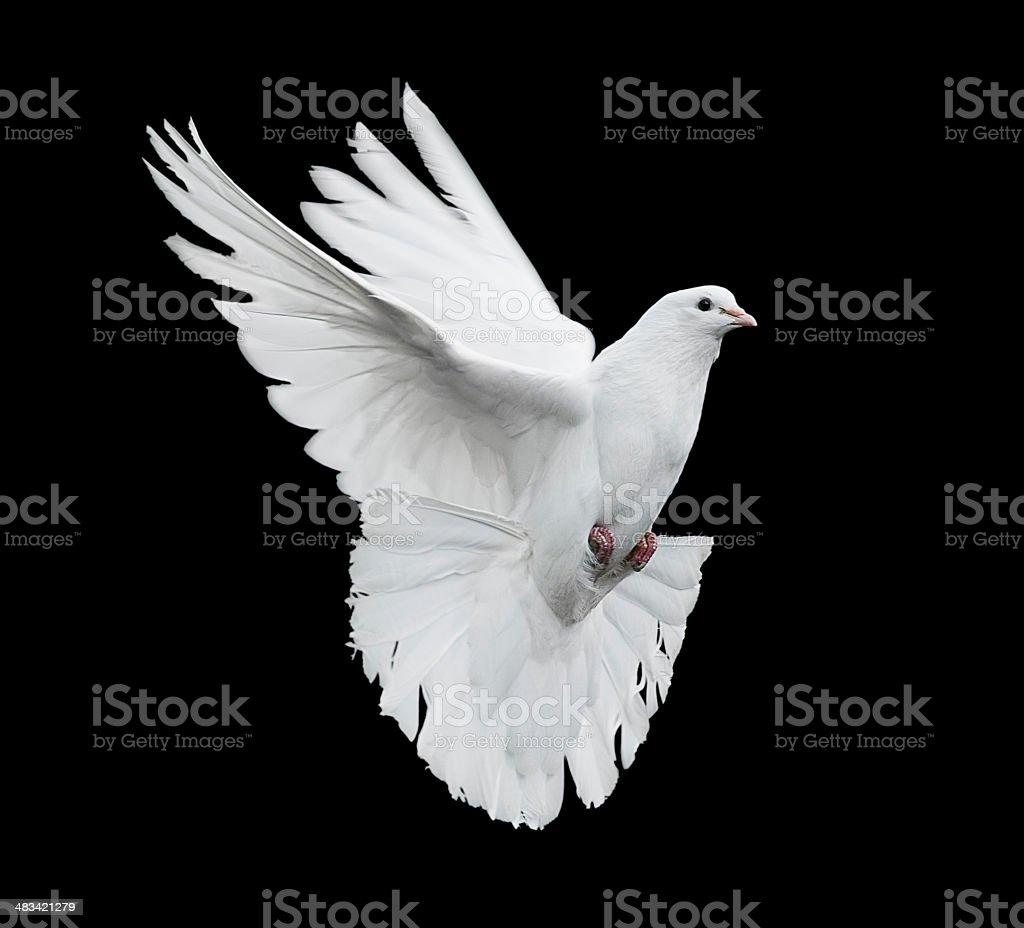 flying white dove royalty-free stock photo