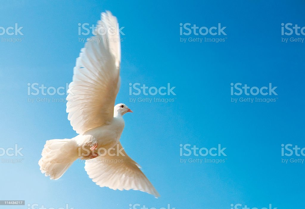 Flying white dove with blue sky stock photo