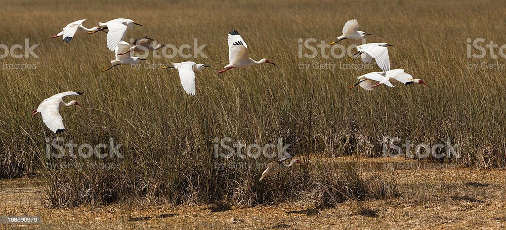 Flying white ibises and snowy egrets stock photo