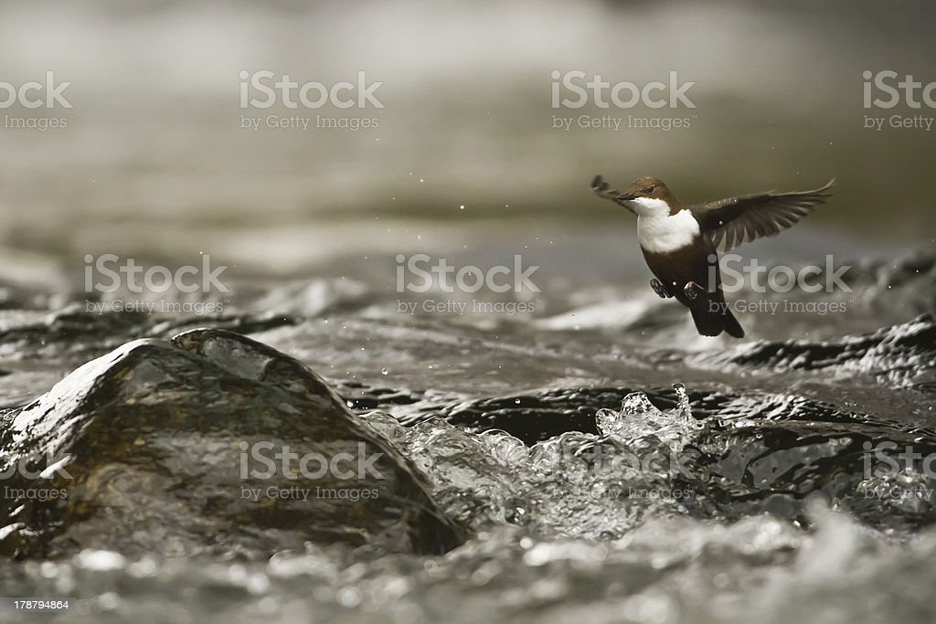 flying White-throated Dipper river bird (Cinclus-cinclus) royalty-free stock photo