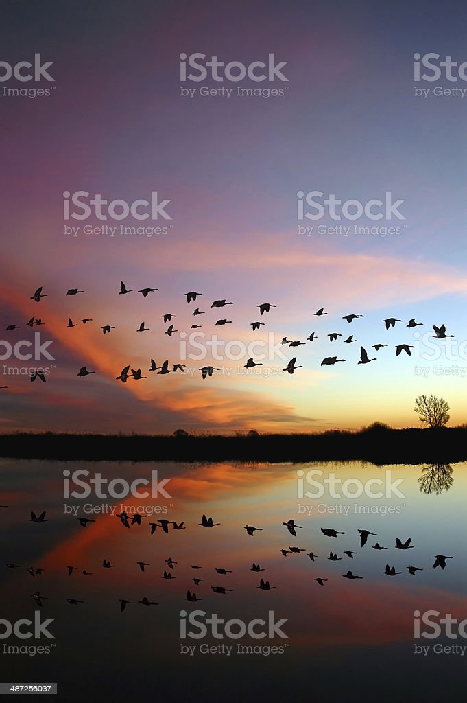 Flying Wild Geese and a Red Sunset stock photo