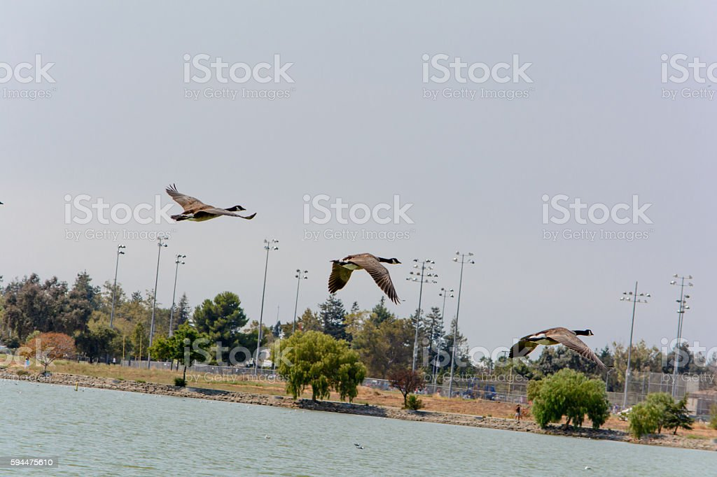 Flying Wild Goose in the Summer stock photo