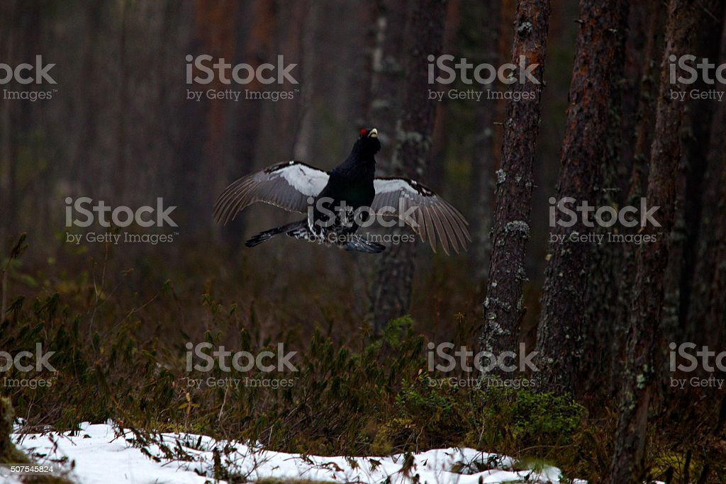 Flying Wood Capercaille stock photo