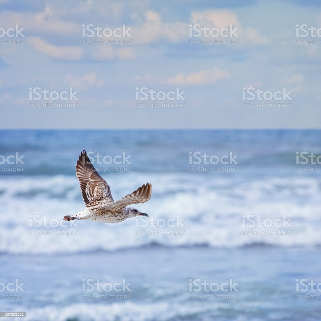 flying Young Seagull stock photo
