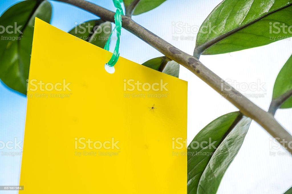 Flypaper catches gnat stock photo