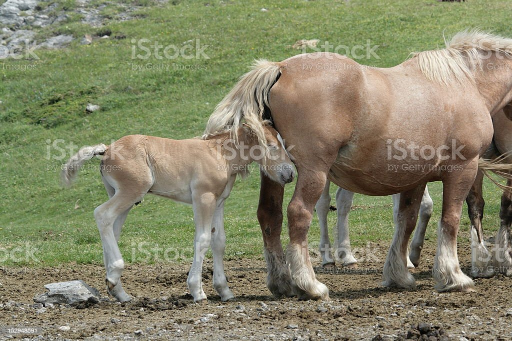 Foal and mare stock photo