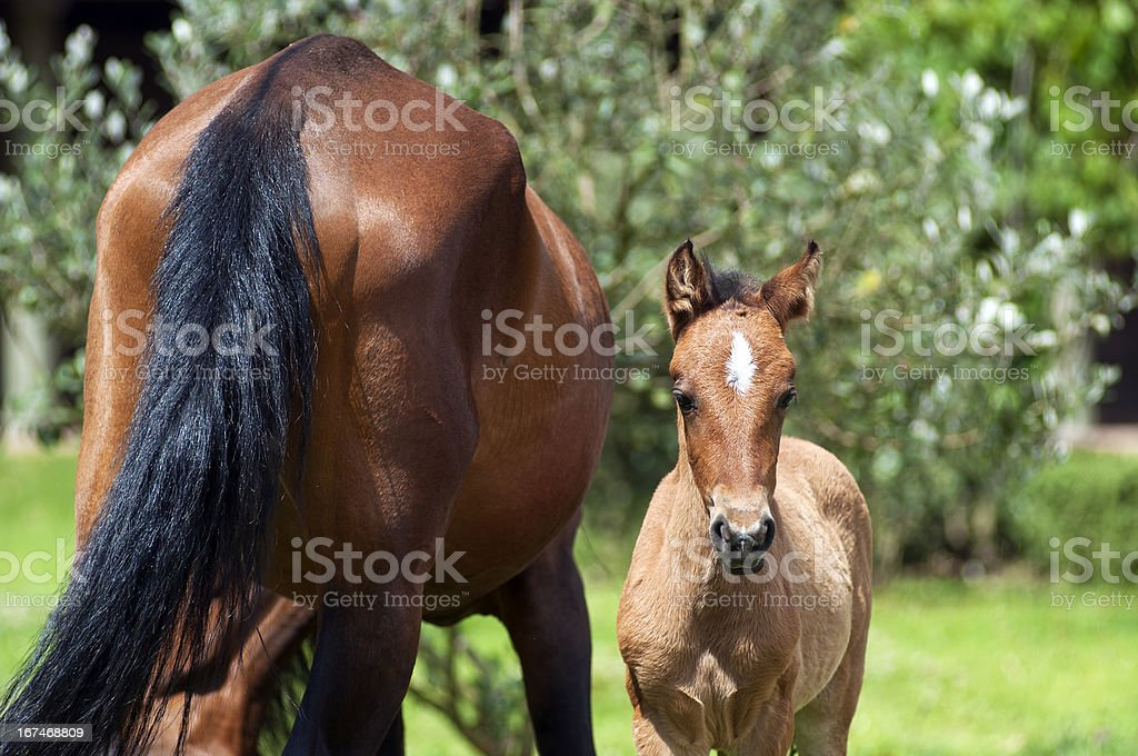 foal and mare royalty-free stock photo