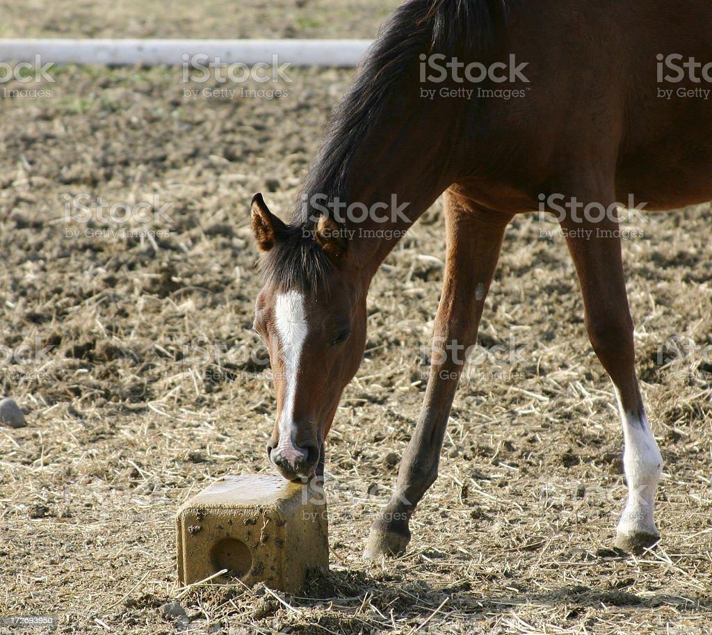 Foal at Salt Lick stock photo