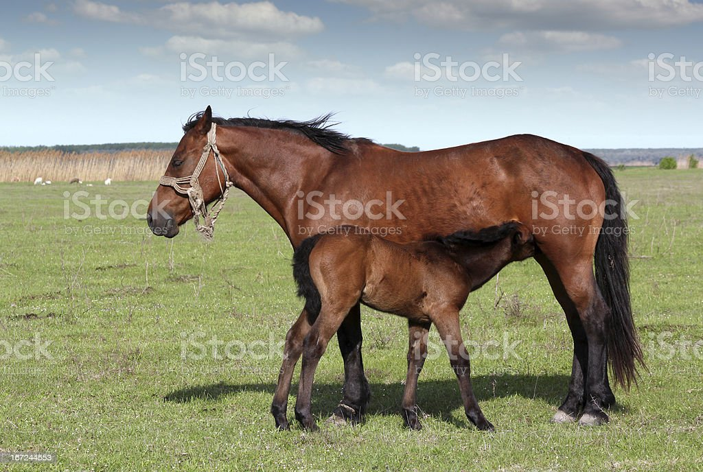 foal feeding with milk on pasture royalty-free stock photo
