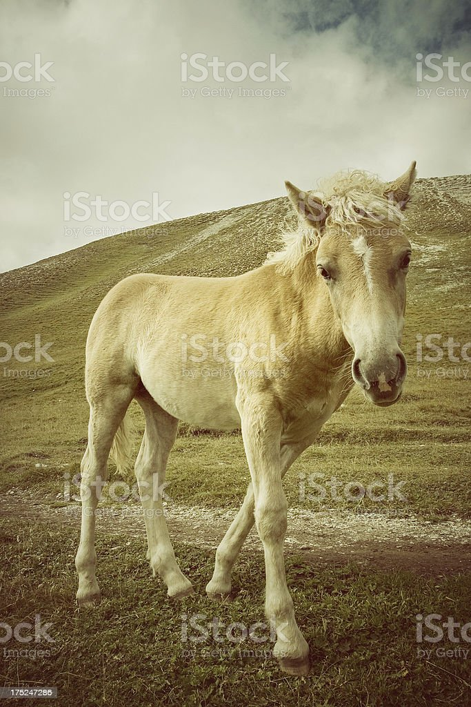 Foal haflinger horse in the wild royalty-free stock photo