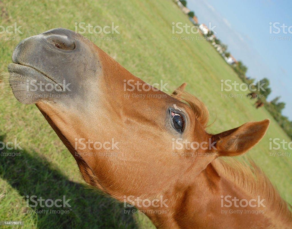 foal head royalty-free stock photo