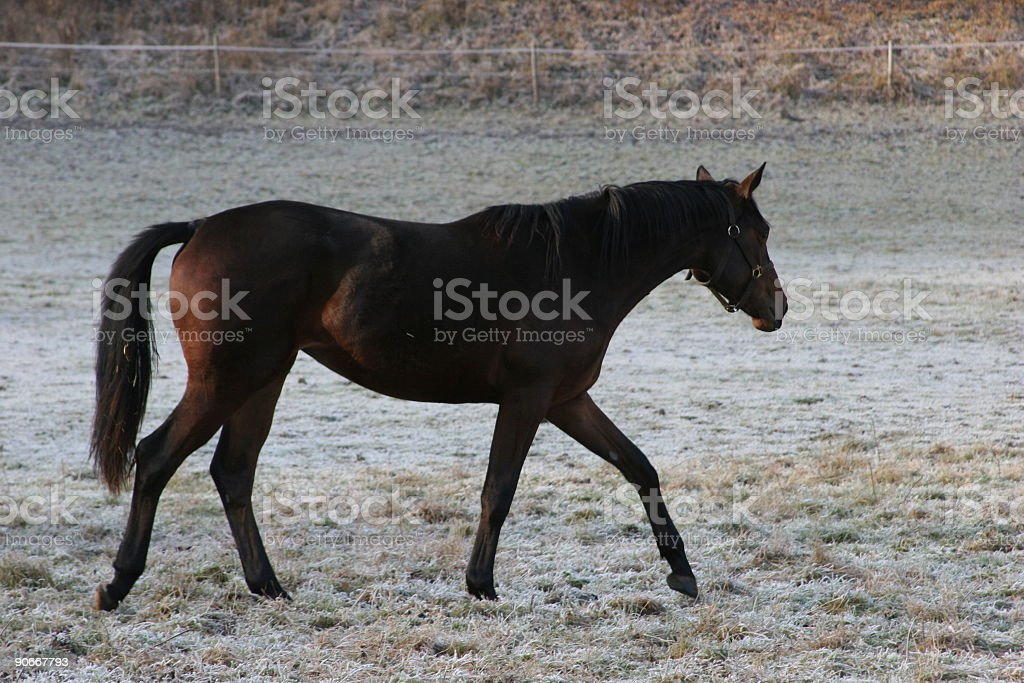Foal in december royalty-free stock photo