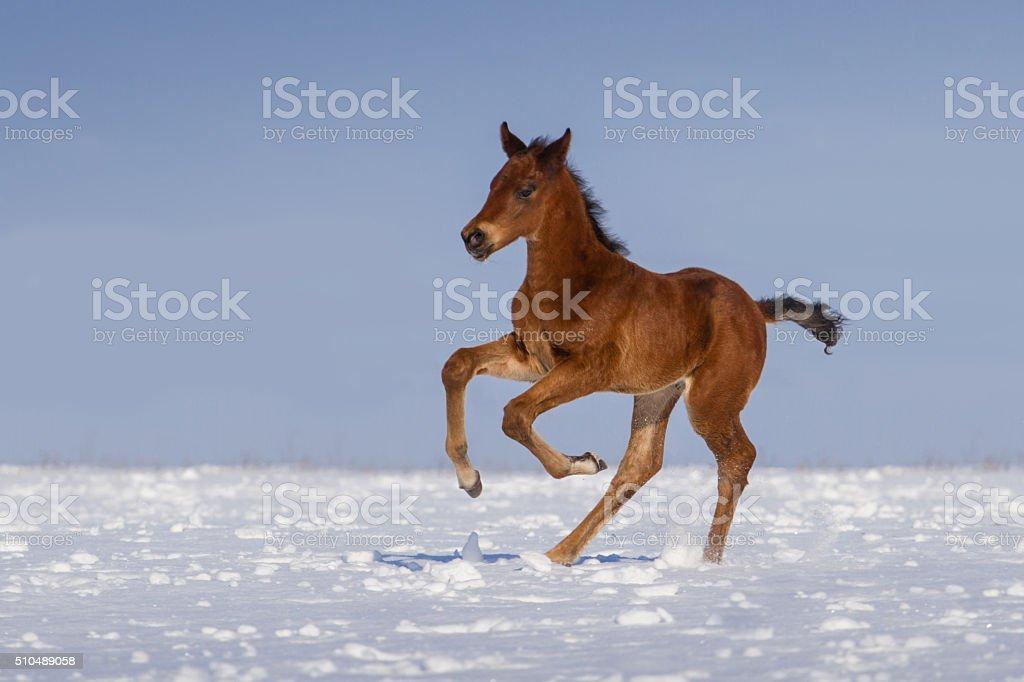 Foal in snow stock photo